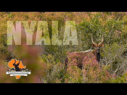 Nyala Hunt at Thorndale Safari: Spot & Stalk in the Eastern Cape
