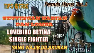 Download lagu Settingan lovebird betina single fighter harian dan lomba