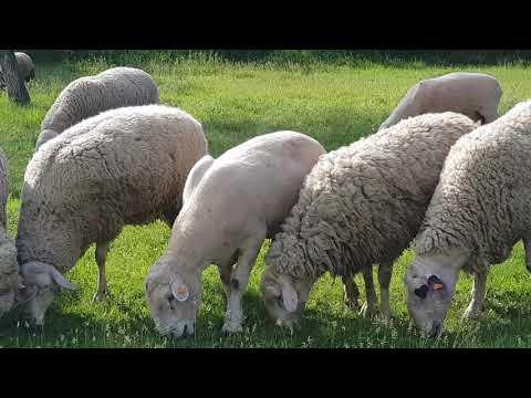 Выставка овец Болгарии. +77017224679 Анвар Рустемов.