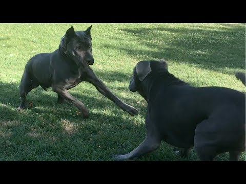 A HUGE Corso Makes an American Bandog Nervous