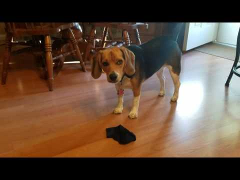 Beagle: The world's finest sock burglar