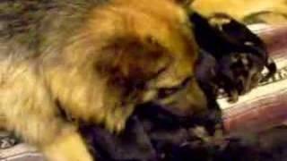 1 Week Old German Shepherd (alsation) Puppies