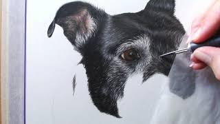 Colour Pencil Pet Portrait Drawing - Staffordshire Bull Terrier