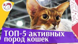 5 самых активных пород кошек