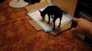 Miniature Pinscher - Smart 5 Month Old Puppy Doing Tricks