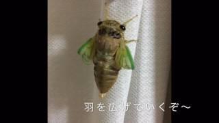 夏の研究☆セミの羽化です!幼虫から成虫への変化は感動〜^ ^