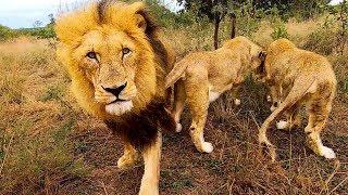 meet-siam-echo-naiobi-the-lion-whisperer