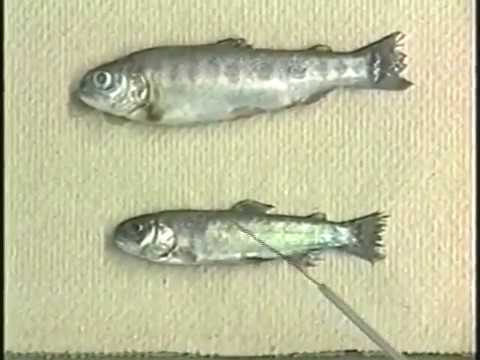 The USFWS Guidebook To Salmon Disease In Fish (Salmonid Diseases)