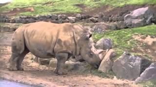 Indian Rhinoceros İs  On Camera It's Amazing | Amazing Animals |