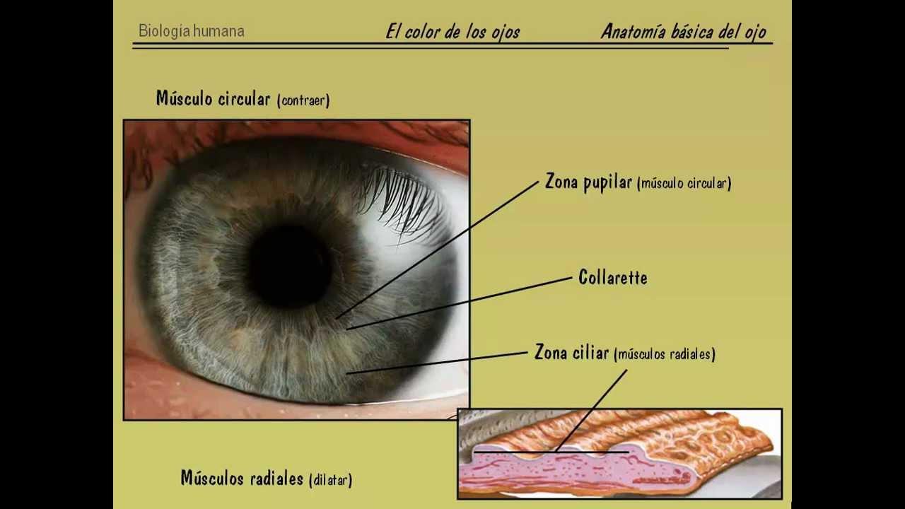 El color de ojos en humanos - Parte I: Anatomía básica y física del ...