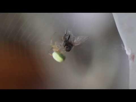 araignée Araniella cucurbitina