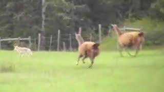 Alpakas statt Wachhunde - Die Farmer sind beeindruckt!