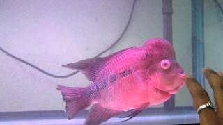 flowerhorn fish (floran) Recovered from Pop eye.AVI