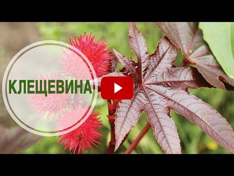 Декоративные растения для сада 🌺 Клещевина ➡ Интересные факты о растении от hitsadTV