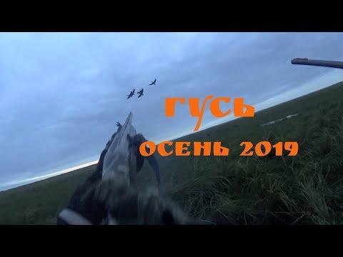 Охота на гуся осень 2019