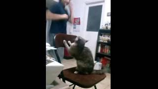 Погладь манула или Страшнее кошки зверя нет!