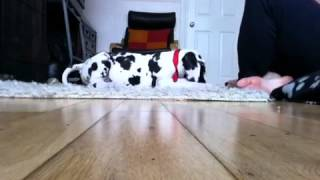 Clicker Training With Cowboy ( Great Dane Puppy 8-9 Weeks)