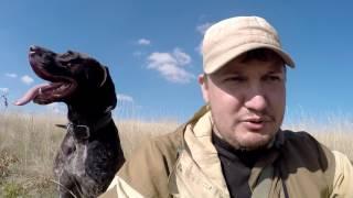 #6 Ходовая Охота Осенью. Охота с Курцхааром на Серую Куропатку МР 153
