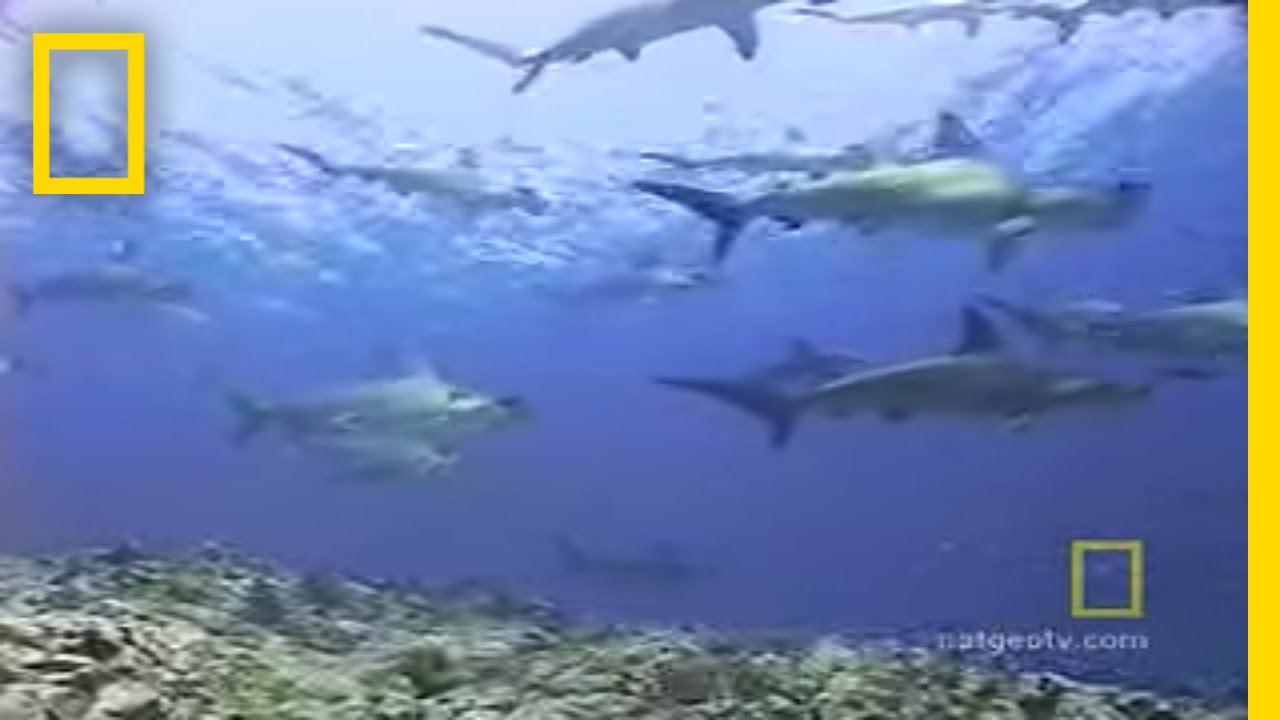 Hammerhead Sharks | National Geographic