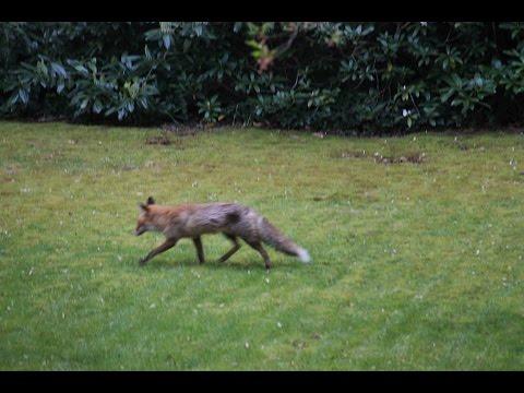 Stretching Red Fox Around Lichterfelde West, Berlin