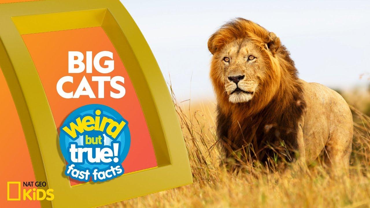 Big Cats | Weird But True!—Fast Facts