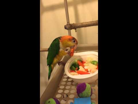 White Bellied Caique eating