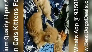 Cat Kittens For Sale 9350926445