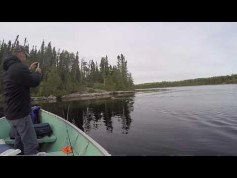 Grey wolf swimming to shoreline-  Ontario Canada -