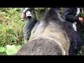 Touched by a Wild Mountain Gorilla - The Day I Got In It's Way | Mini Travellers