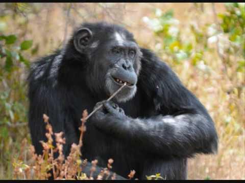 Chimpanzee Primate socio-ecology  (I) Dr. McGrew