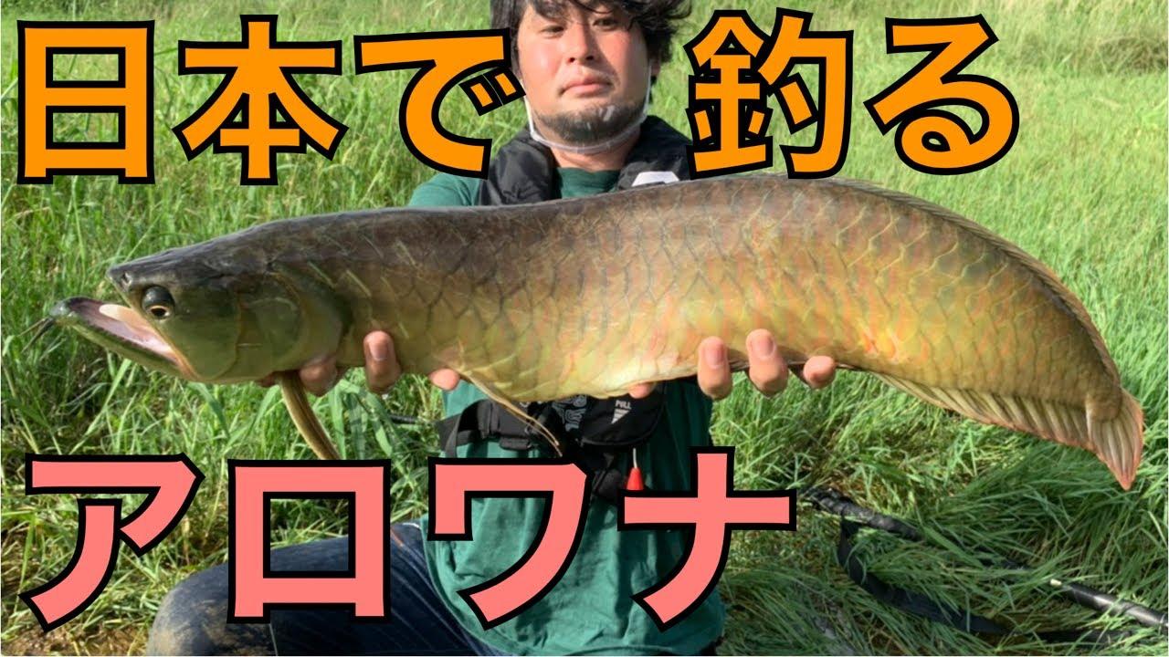 沖縄の川でアロワナを釣って食べる