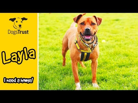 Layla is a Staffordshire Bull Terrier Cross Looking For a Home! | Dogs Trust Loughborough