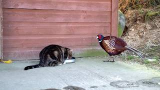 Bustercat And Pheasant