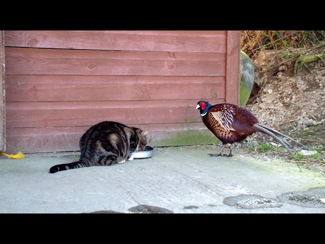 Buster(cat) and Pheasant