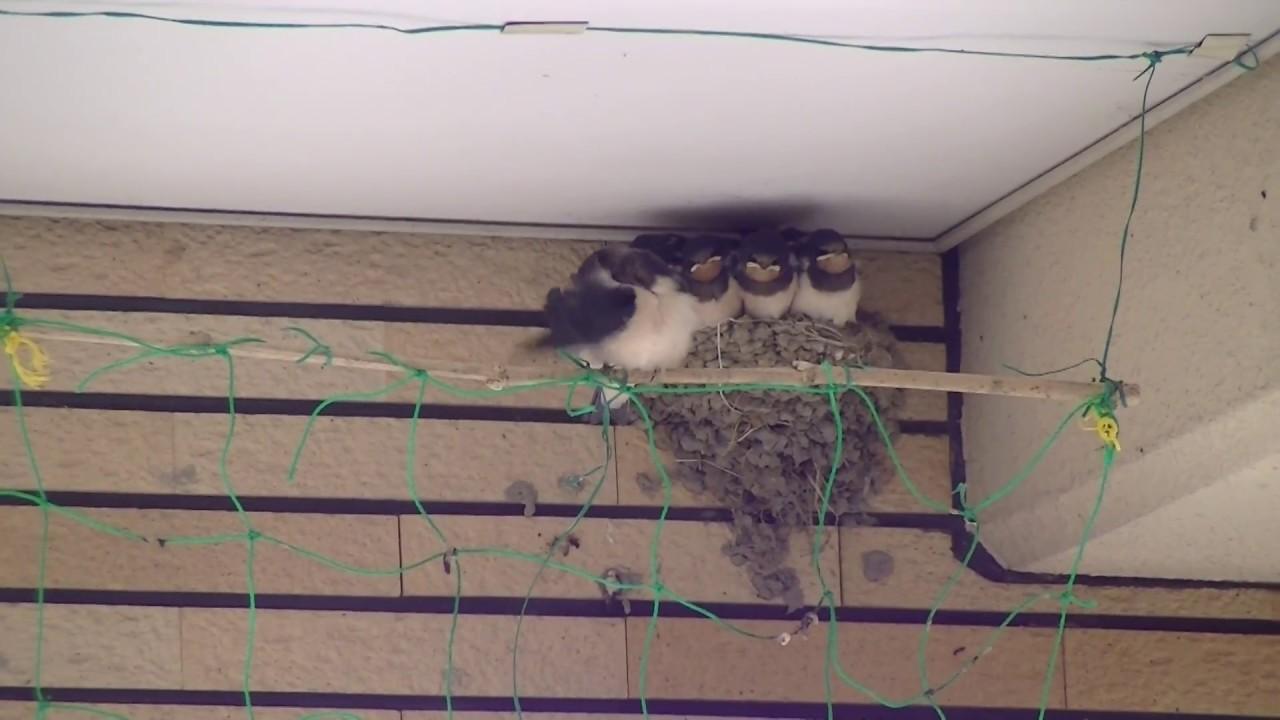 巣 対策 の ツバメ カラス