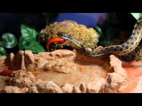 garter snake eats goldfish part 1