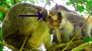 MG! Baby Janna Hurt So Much When Monkey Elsa Grooming & Cleaning So hard On Her wounded Back