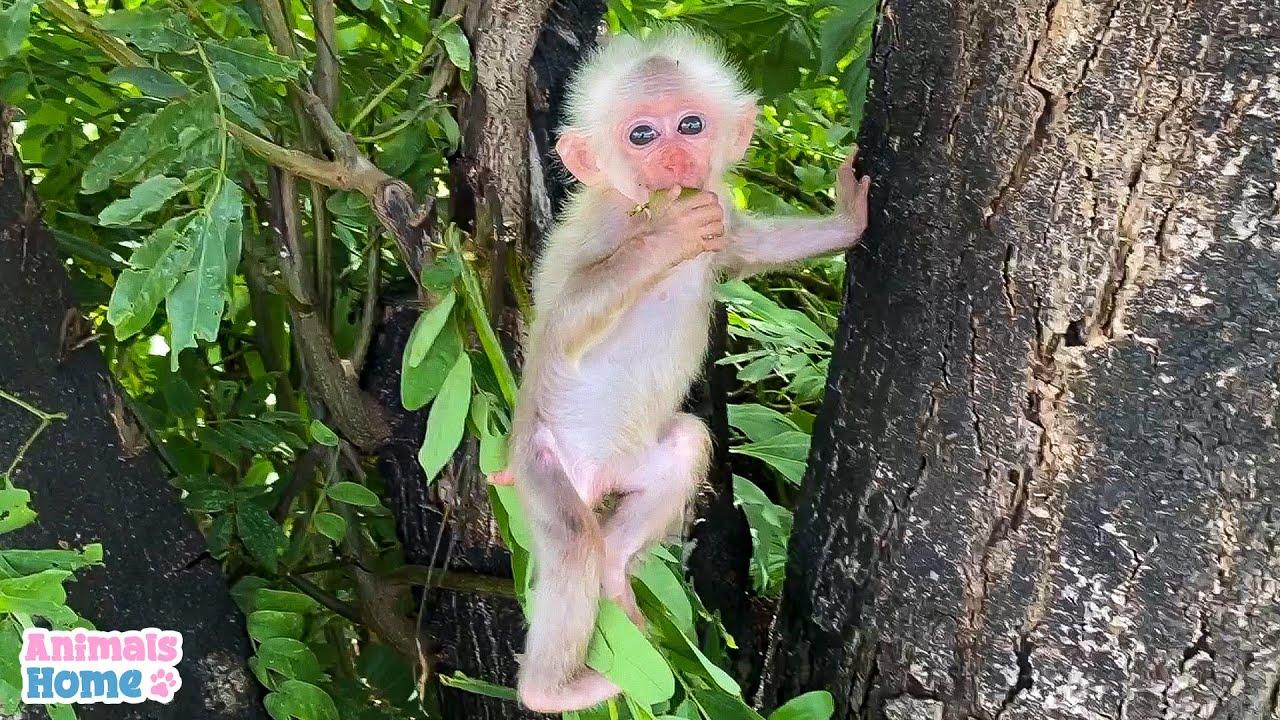 Dad give baby monkey BiBi to climb tree and eat fruit