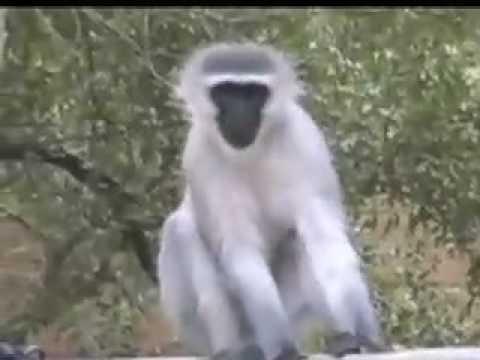 Vervet Monkeys Alarm Call  WildEarth  12/03/08