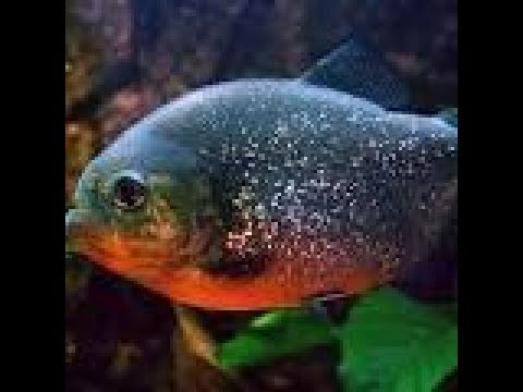 Je donne un gros poisson rouge mes piranhas youtube for Gros poisson rouge