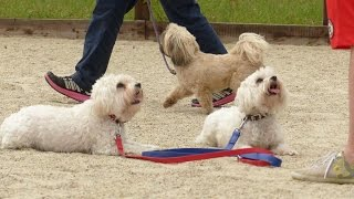 Lili & Bianca - Maltese - 4 Week Residential Dog Training At Adolescent Dogs