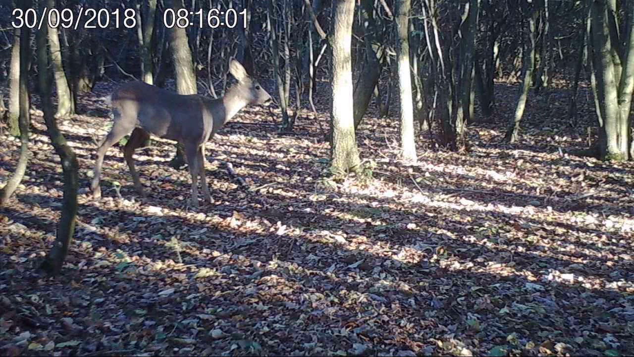 Jagd Wildkamera WiMiUS H4 wildlife trail camera - YouTube