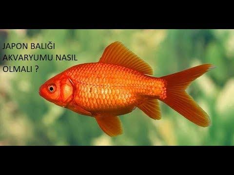 Japon Balığı Akvaryumu Nasıl Olmalı ve Maliyeti Ne Kadar