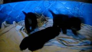 3 Week Old Rottweiler Puppies First Real Play