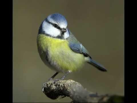 Fåglar och deras läten Blåmes och Bofink - YouTube