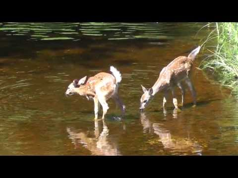 Cute Whitetail Fawns Frolicking In Stream - Poops