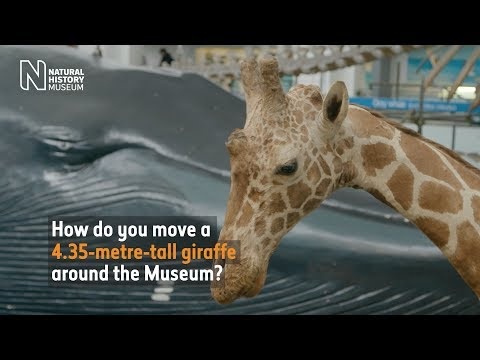 How do you move a giraffe around the Museum? | Natural History Museum