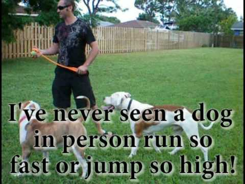 My big American Bulldog Jumping High about 10 ft in the Air! Nkc Purebreed