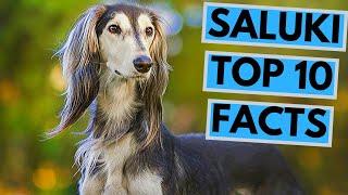 Saluki  TOP 10 Interesting Facts