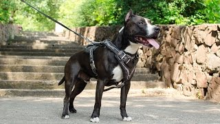 American Staffordshire Terrier With His Painted Training Dog Harness On
